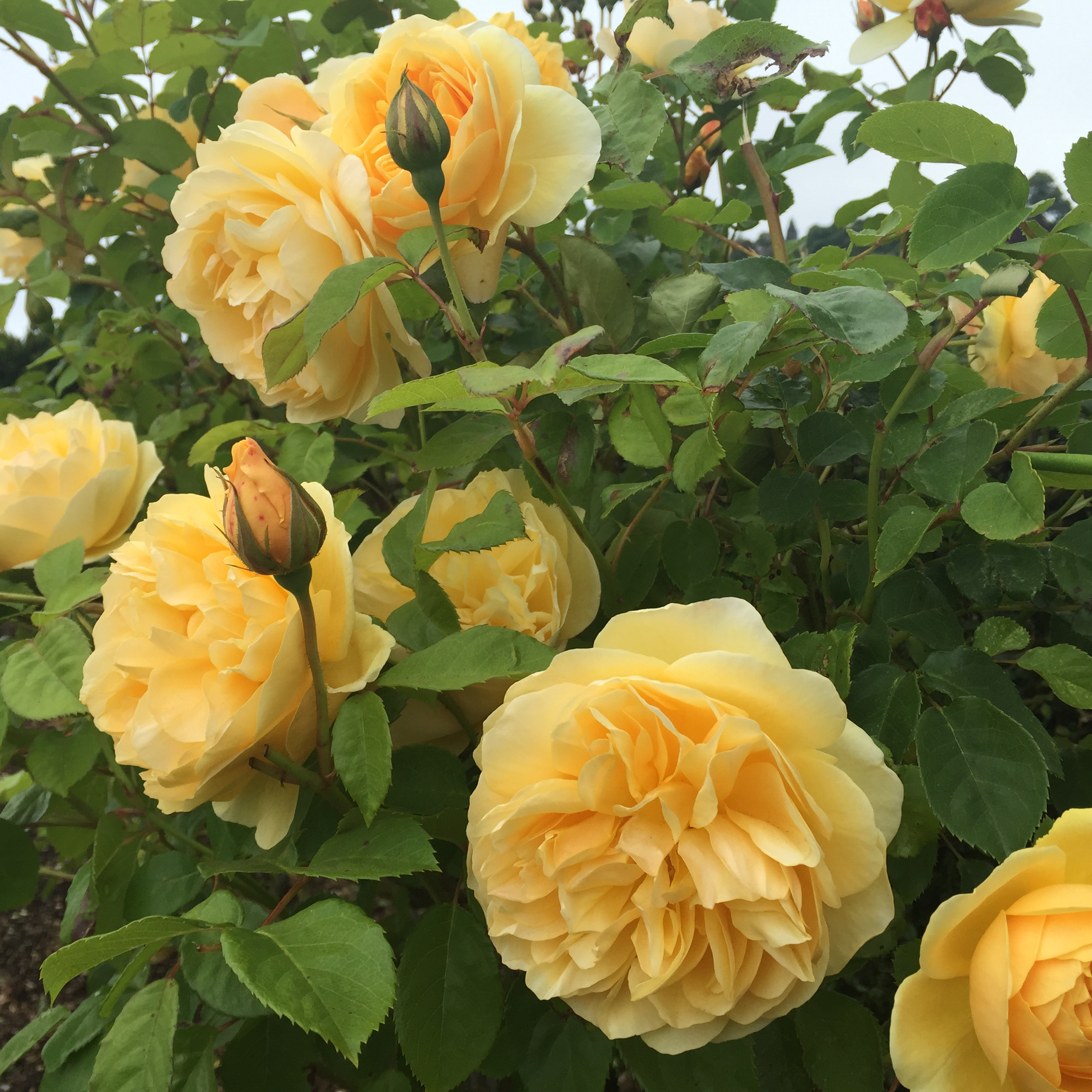 Add Rock Dust To Compost Tea To Keep Roses Blooming All Summer