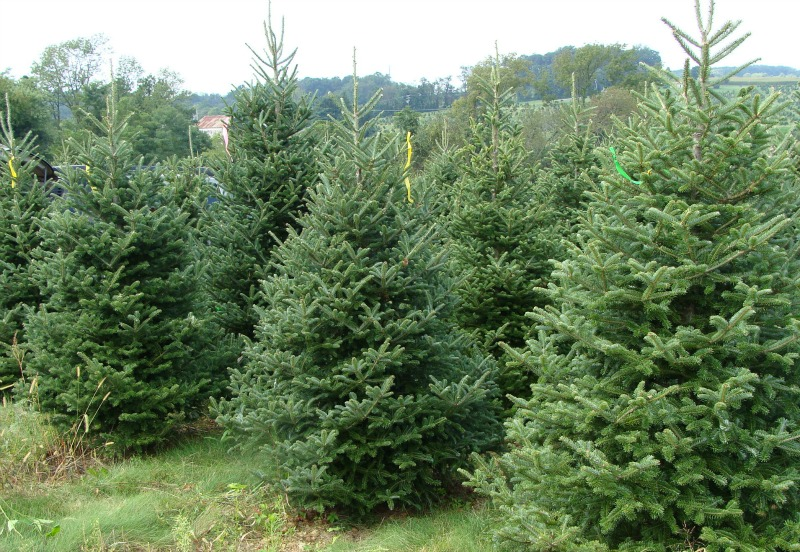 Oregon Christmas Tree Farm